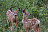 Twin Mule Deer fawns in Saskatchewan field — Stock Photo