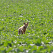 Young red fox in Saskatchewan field - Stock Photo