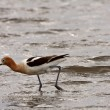 Stock Photo: AmericAvocet wading in shallow water