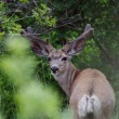 Mule Deer Buck Velvet Antlers - Stock Photo