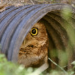 Burrowing Owl in culvert — Stock Photo