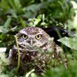 Burrowing Owl in culvert amongst vegetation — Stock Photo