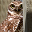 Stock Photo: Burrowing Owl on enclosed window seal