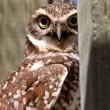 Burrowing Owl on enclosed window seal — Stock Photo