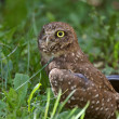 Burrowing Owl near culvert — Stock Photo
