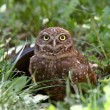 Stock Photo: Burrowing Owl near culvert