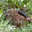 Burrowing Owl outside of culvert — Stock Photo