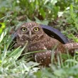 Stock Photo: Burrowing Owl outside of culvert