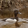 Male Ring necked Duck swimming in roadside ditch — Stock Photo