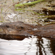 Beaver in roadside pond — Stock Photo