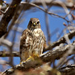 Gyrfalcon perched in tree — Stock Photo