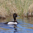 Ring necked Duck in swimming in roadside ditch — Stock Photo