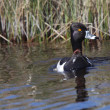 Ring necked Duck in roadside ditch - Stock Photo