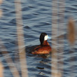Stock Photo: Ruddy Duck in roadside pond