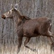 Young female moose on Hecla Island in Manitoba — Stock Photo