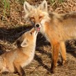 Red Fox vixen with pup on Hecla Island in Manitoba - Photo