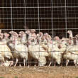 Stock Photo: Domestic turkeys in coup