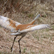 Sandhill Crane in Northern Manitoba — Stock Photo #4912627