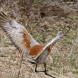 Sandhill Crane in Northern Manitoba — Stock Photo #4912628