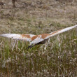 Sandhill Crane in Northern Manitoba — Stock Photo #4912629