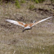 Sandhill Crane in Northern Manitoba — Stock Photo #4912630