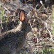 Stock Photo: Cottontail Rabbit in Northern Manitoba