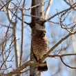 Broad winged Hawk perched on tree branch — Stock Photo
