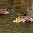 Canada Geese parents with goslings in pond — Stock Photo