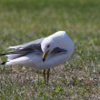Ring billed Gull preening itself — Stock Photo #4912678