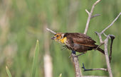 Female Yellow headed Blackbird perched on branch — Stock Photo