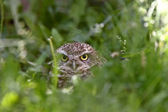 Burrowing Owl amongst vegetation — Stock Photo