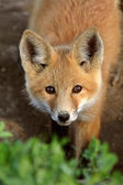 Red Fox pup in Saskatchewan — Stock Photo