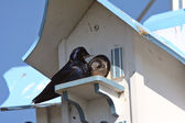 Purple Martins pair at bird house complex — Stock Photo