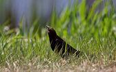 Brown headed Cowbird on ground — Stock Photo