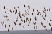 Aerial display by shorebirds — Stock Photo