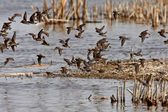 Shorebirds giving aerial display over Manitoba marsh — Stock Photo