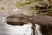 Beaver in roadside pond — Stock Photo