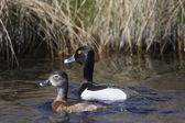 Ring necked Ducks in roadside ditch — Stock Photo