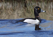 Ring necked Duck in roadside ditch — Stock Photo