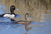 Pair of Ring necked Ducks in roadside pond — Stock Photo