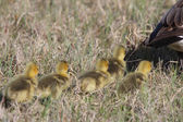 Canada Geese parent with goslings in grass — Stock Photo