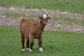 Goat kid in Manitoba pasture — Stock Photo