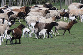 Flock of sheep in spring — Stock Photo