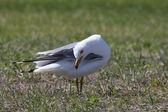 Ring billed Gull preening itself — Stock Photo