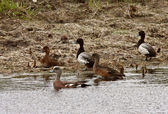 American Wigeon hen amongst Ring necked Ducks — Stock Photo