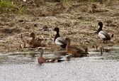 American Wigeon hen amongst Ring necked Ducks — Stock Photo