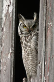 Great Horned Owl perched in barn window — Stock Photo