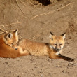 Stock Photo: Red Fox pups outside their den