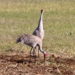 Sandhill Cranes during courting season — Stock Photo #4922037
