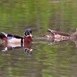 Mating pair of Wood Ducks in pond — Stock Photo #4922141